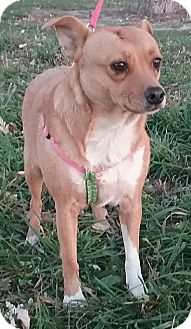 Chihuahua/Thai Ridgeback Mix Dog for adoption in Macomb, Illinois - Twinkie