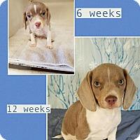 Adopt A Pet :: Gray pending adoption - Manchester, CT