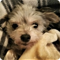 Adopt A Pet :: Mollie-adoption pending - Schaumburg, IL