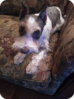 Miniature Schnauzer Dog for adoption in Hilliard, Ohio - Annie