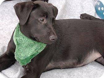 Labrador Retriever Mix Puppy for adoption in Huntsville, Alabama - Onyx