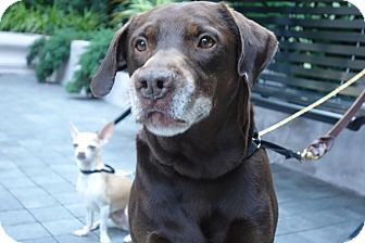 Labrador Retriever Mix Dog for adoption in Long Beach, New York - Bronson