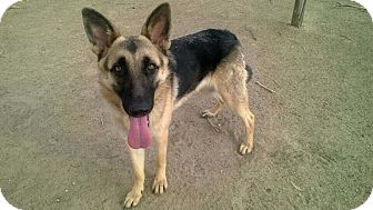 German Shepherd Dog Dog for adoption in Valley Village, California - SAMATHA