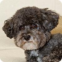 Adopt A Pet :: Desi - La Costa, CA