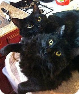 Domestic Mediumhair Cat for adoption in Long Beach, California - Lacey