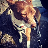 Fox Terrier (Smooth)/Chihuahua Mix Dog for adoption in North Hollywood, California - Charlotte