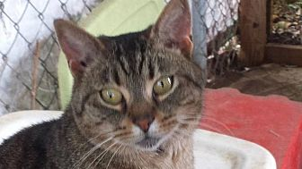 Domestic Shorthair Cat for adoption in Columbia, South Carolina - Terry