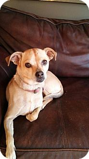 Chihuahua Mix Dog for adoption in Ashville, Ohio - Pebbles