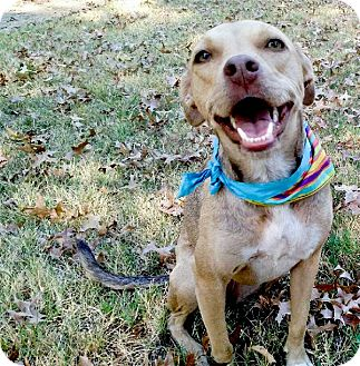 Whippet/Border Collie Mix Dog for adoption in Sacramento, California - Bailey lovely girl, easy