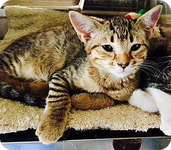 Domestic Shorthair Kitten for adoption in Oakdale, California - Dodger
