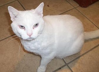 Domestic Shorthair Cat for adoption in Lacon, Illinois - Chloe