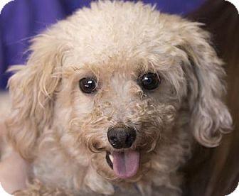 Miniature Poodle Dog for adoption in Colorado Springs, Colorado - Lavendar