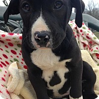Adopt A Pet :: Tinley - Hartford, CT