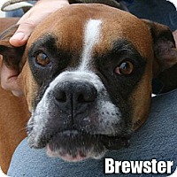 Boxer Dog for adoption in Encino, California - Brewster
