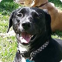 Adopt A Pet :: Sweetie - Minneapolis, MN