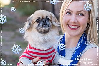 Pekingese/Poodle (Miniature) Mix Dog for adoption in Dallas, Texas - Gizmo