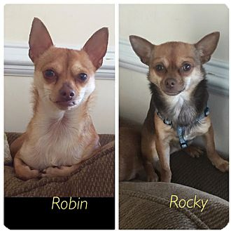 Chihuahua Mix Dog for adoption in Wantagh, New York - Rocky
