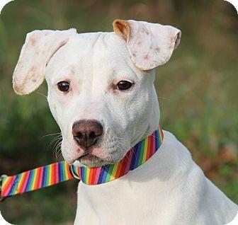 Boxer/Hound (Unknown Type) Mix Dog for adoption in Marietta, Ohio - Gidget (Spayed)