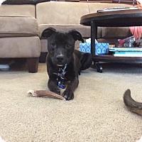 Adopt A Pet :: Ike - Boston, MA