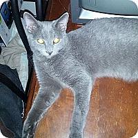Domestic Shorthair Cat for adoption in Phoenix, Arizona - Bronson