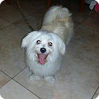 Adopt A Pet :: Chowder - Miami, FL