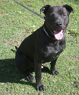 Labrador Retriever/American Pit Bull Terrier Mix Dog for adoption in Ceres, Virginia - Roman