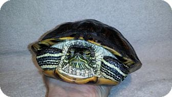 Turtle - Other for adoption in Pefferlaw, Ontario - Squirtle