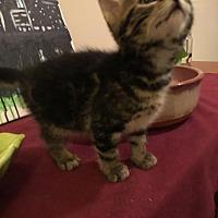 Domestic Shorthair Kitten for adoption in Smyrna, Georgia - Ryann
