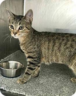 Domestic Shorthair Cat for adoption in Hilton Head, South Carolina - Edwina