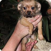 Adopt A Pet :: Scout - San Francisco, CA