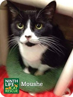 Domestic Shorthair Cat for adoption in Oakville, Ontario - Moushe