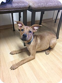 Basenji Mix Dog for adoption in Manchester, Connecticut - Jerome in CT