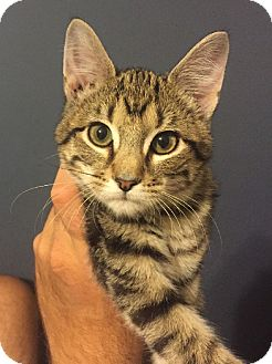 Domestic Shorthair Kitten for adoption in Overland Park, Kansas - Sanford