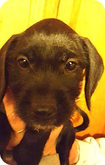 Labrador Retriever/Boston Terrier Mix Puppy for adoption in Medora, Indiana - Ripley