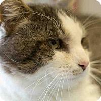 Adopt A Pet :: MR BIGGS - Frisco, CO