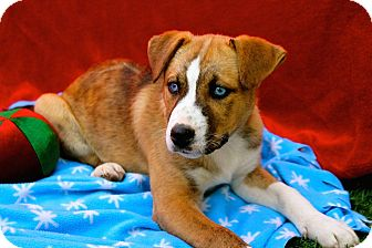 Husky/Hound (Unknown Type) Mix Puppy for adoption in Lodi, California - Billy
