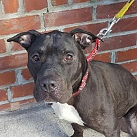 Adopt A Pet :: Dodger - Brooklyn, NY