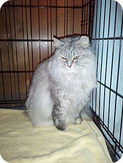 Persian Cat for adoption in Grand Rapids, Michigan - Annika