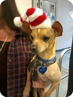 Chihuahua Mix Dog for adoption in Mahopac, New York - BABY