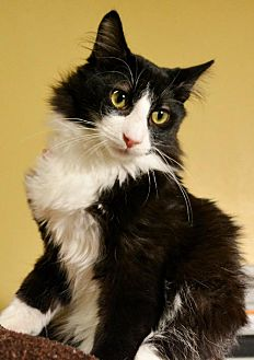 Domestic Longhair Cat for adoption in Horn Lake, Mississippi - Marty
