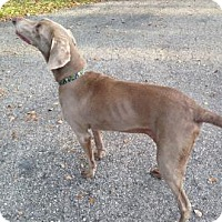 Adopt A Pet :: Amber - Sarasota, FL