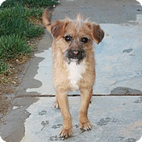 Adopt A Pet :: Munchkin - California City, CA