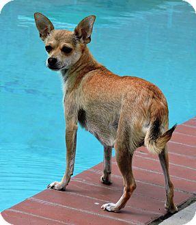 Chihuahua Mix Dog for adoption in La Habra Heights, California - Lita