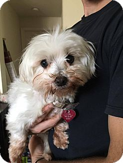 Maltese Mix Dog for adoption in Wichita Falls, Texas - Belle