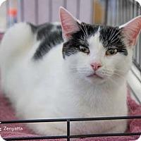 Adopt A Pet :: Zenyatta - Merrifield, VA