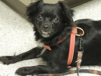 Pekingese Dog for adoption in Pomerene, Arizona - Missy