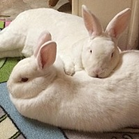 Adopt A Pet :: Puff and Gabriel - Moneta, VA