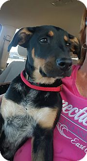Shepherd (Unknown Type)/Blue Heeler Mix Puppy for adoption in Glastonbury, Connecticut - Buster Brown