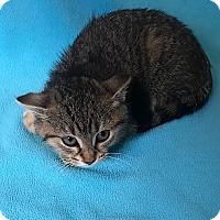Adopt A Pet :: Alli - Tampa, FL