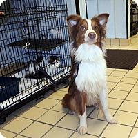 Adopt A Pet :: Maxxx - Lumberton, NC